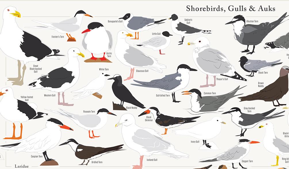 Infographic 730 North American Birds In A Single Chart Michael Sandberg S Data Visualization Blog